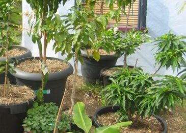 Growing Potted Fruit