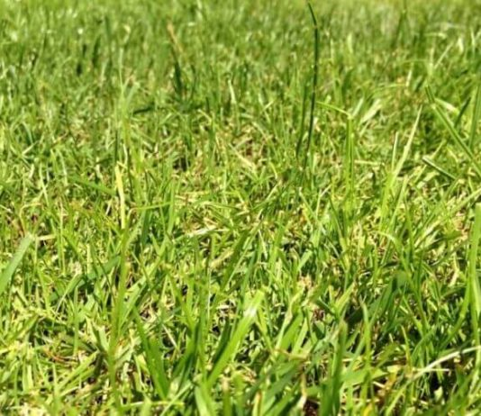 &Quot;Ryegrass&Quot; Pros And Cons Of Overseeding Lawns