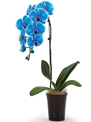 Tropical-Blueorchid