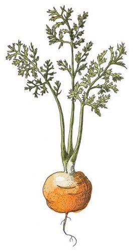 Carrot 'Thumbelina' Daucus carota sativus
