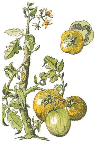 Green Zebra Tomato Solanum lycopersicon esculentum