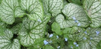 How to Planting and Care for a Brunnera
