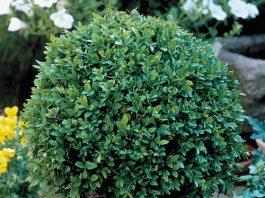 How to Use Boxwood Shrubs for Better Garden Landscaping