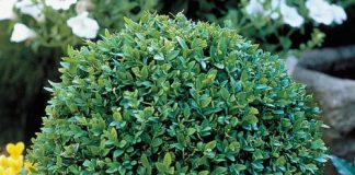 How to Use Boxwood Shrubs for Better Garden Landscaping