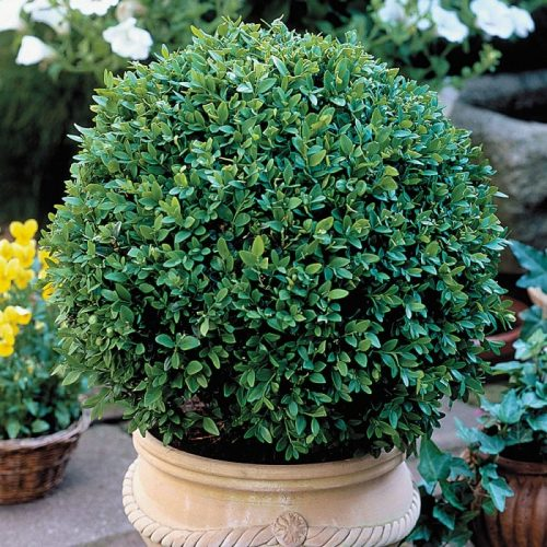 How To Use Boxwood Shrubs For Beautiful Garden Landscaping Gardens Nursery