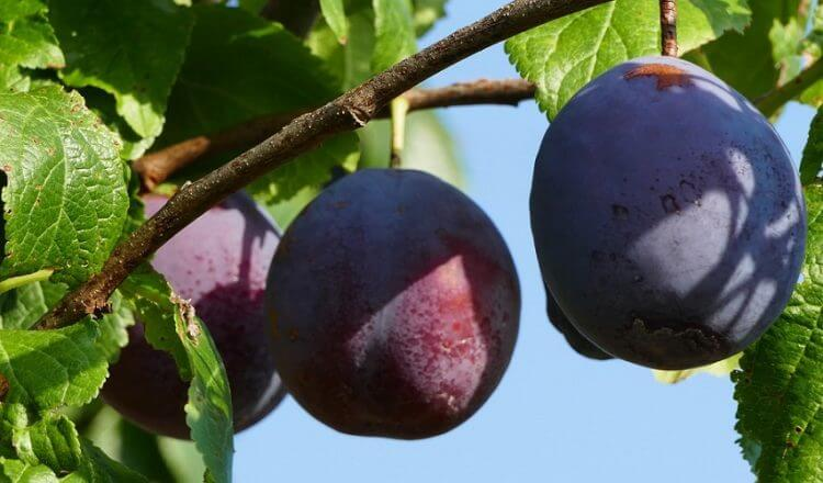 Grow your Own Juicy Plums Tree