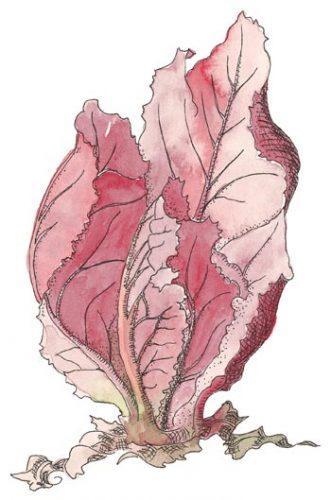Merlot Lettuce Lactuca sativa