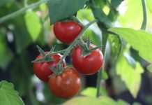 Plant the Tastiest Homegrown Tomatoes
