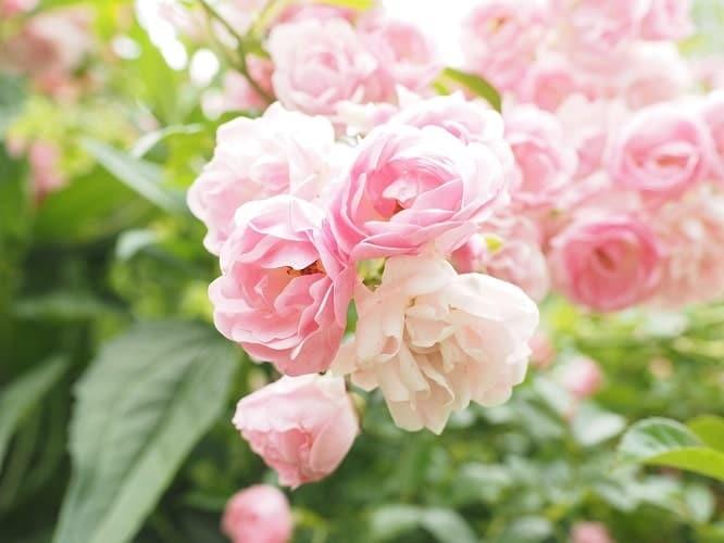 Roses and Rosebush in Your Garden