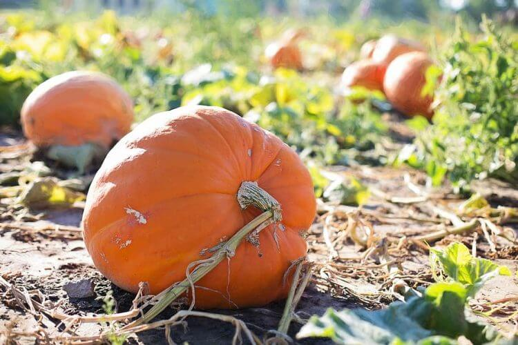 Top 10 Tips to Growing a Giant Pumpkin