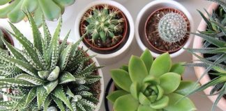 Top 5 Succulent Plants and Growing Tips in Containers