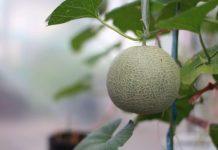 Growing Melons - Get Sweet Satisfaction