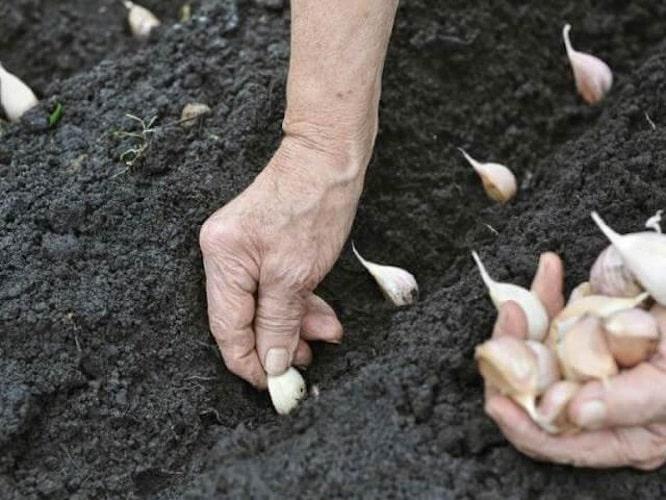 How to Grow Garlic in your Garden?