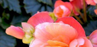 Grow Tuberous Begonias