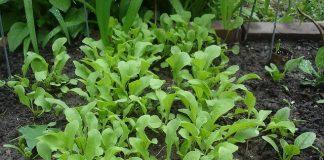 Growing Arugula in your Garden