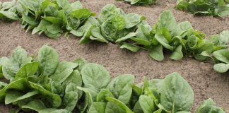 Growing Spinach in your Home Garden