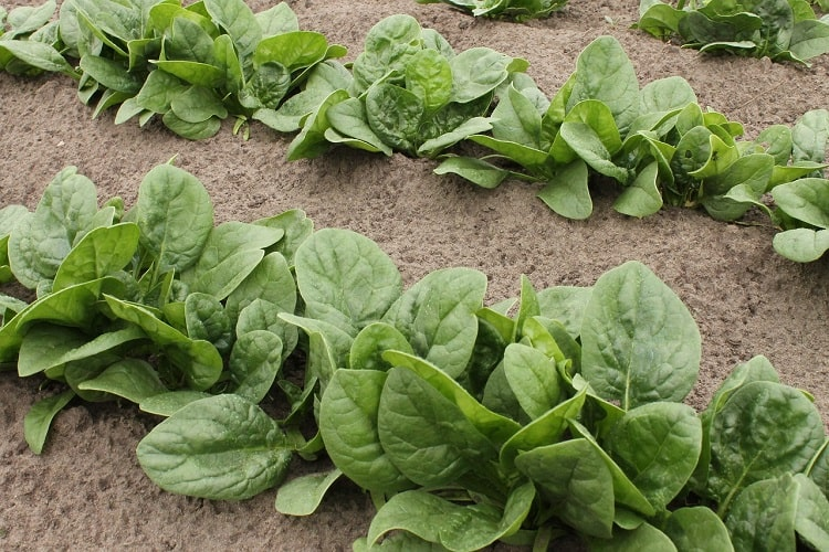 Growing Spinach Plant in your Home Garden