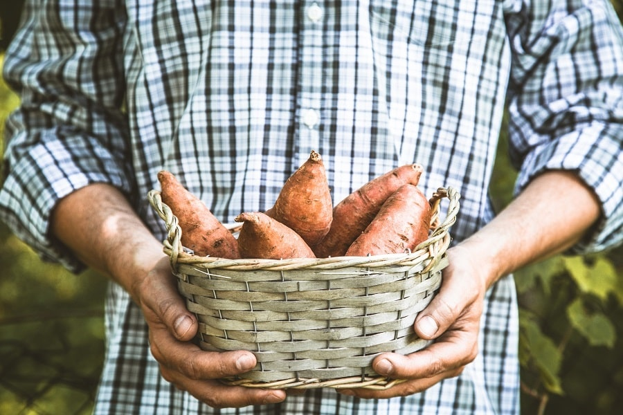 Growing Sweet Potatoes and Yams in your Garden or Backyard