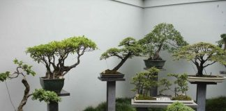 Guide for Growing a Bonsai