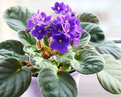 How to Grow African Violets from Seed