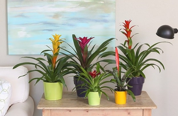 How to Grow Bromeliads in your Home