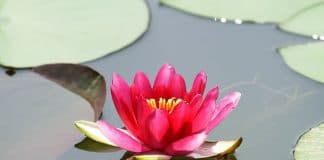 How to Grow Lotus Flower at your Garden