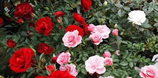 How to Grow Roses in Your Garden