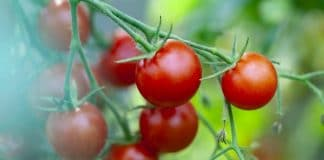 How to Grow Tomatoes in your Garden