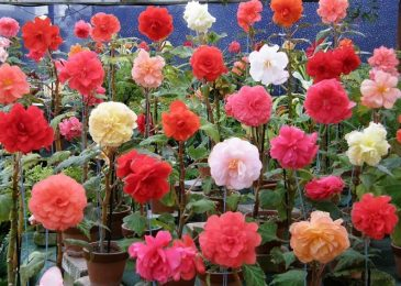 How to Grow Tuberous Begonias in your Garden