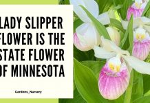Lady Slipper Flower Is The State Flower Of Minnesota