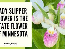 Lady Slipper Flower Is The State Flower Of Minnesota