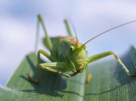 Raising and Breeding Grasshoppers