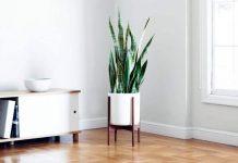 Snake Plants - Beautiful Indoor House Plants