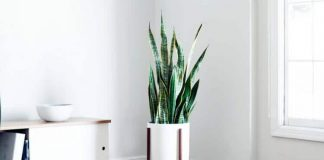 Snake Plants - Beautiful Indoor House Plants