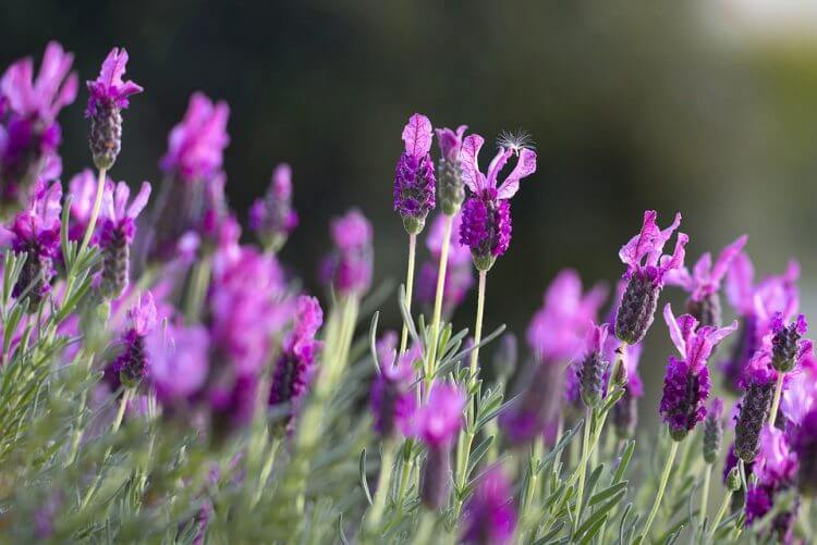 Lavender - Growing Tips, Harvesting, Drying and Preserving