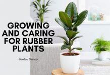 Growing and Caring for Rubber Plants