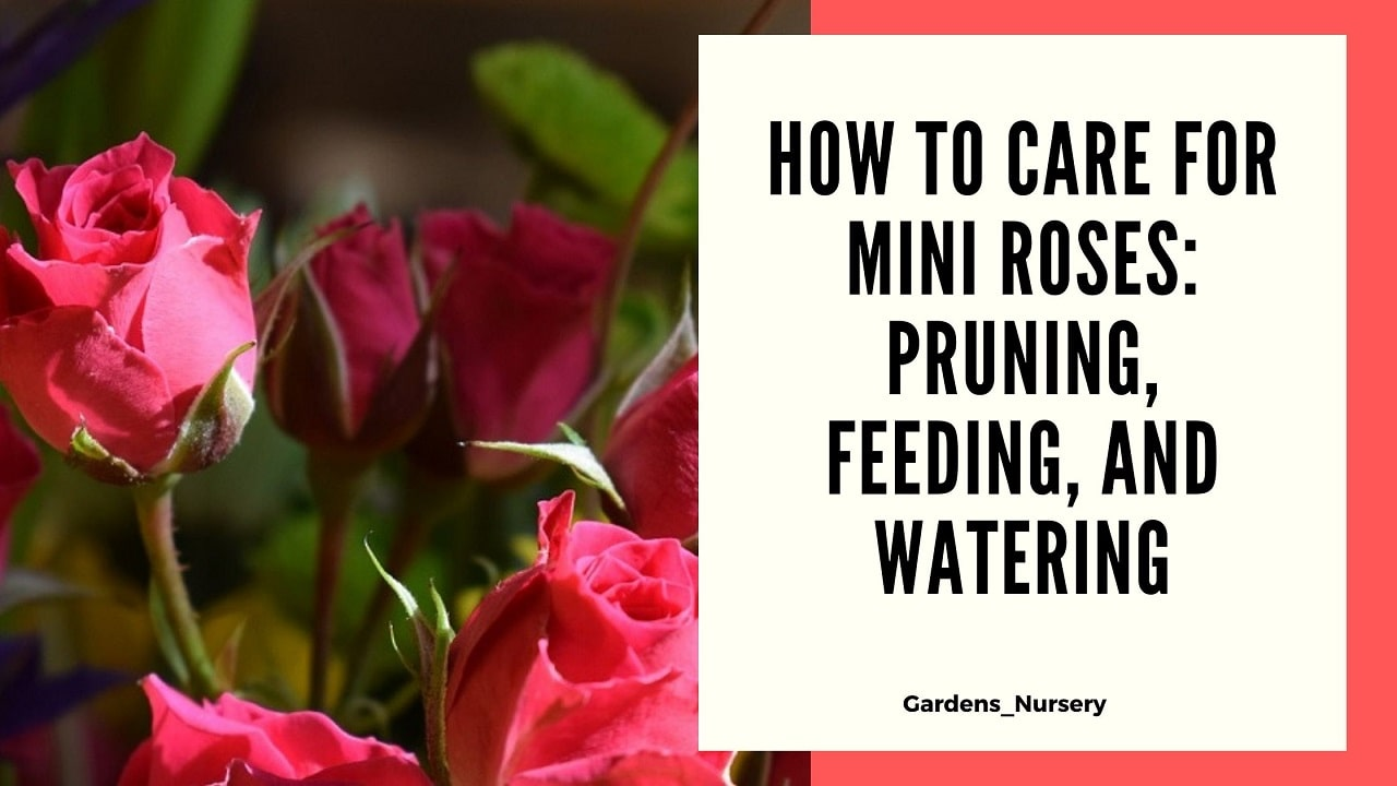 How to Care for Mini Roses Pruning, Feeding, and Watering