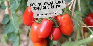 How to Grow Roma Tomatoes in Pot