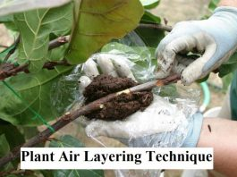 Plant Air Layering Technique