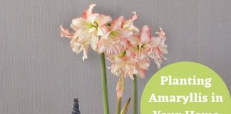 Planting Amaryllis Flower in Your Home Garden