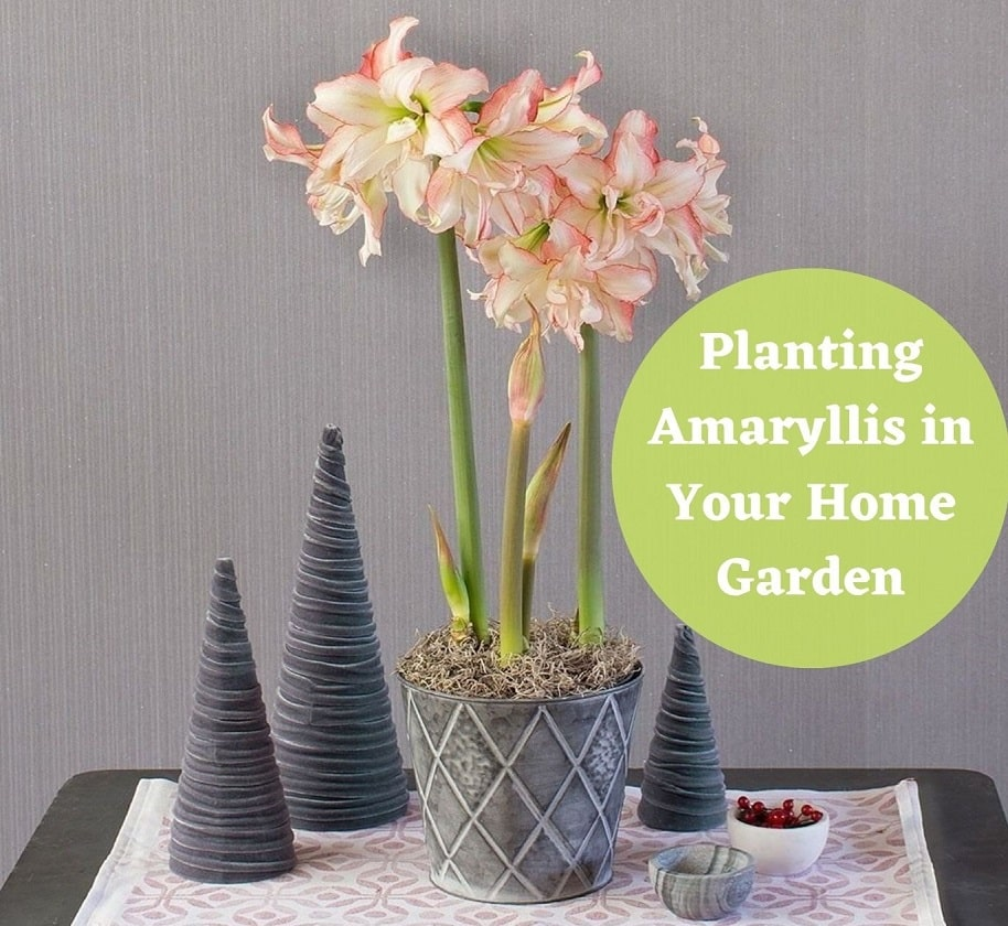 Planting Amaryllis Flower in Your Home Garden
