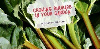 Planting Rhubarb in Your Garden - Gardening Guide