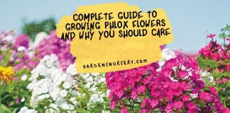 Complete Guide to Growing Phlox Flowers and Why You Should Care