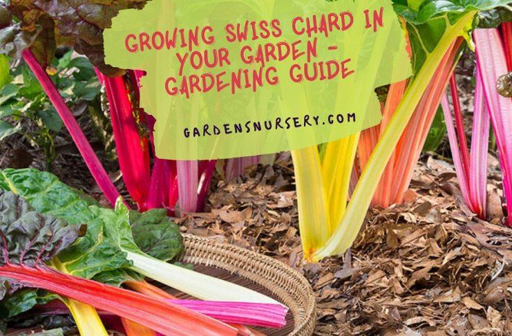Growing Swiss Chard in your Garden - Gardening Guide
