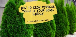 How to Grow Cypress Trees in Your Home Garden for a Beautiful, Durable Landscaping