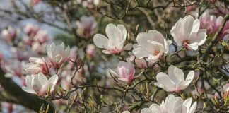 Sweet Magnolias Tree, Knowing More About Planting and Caring