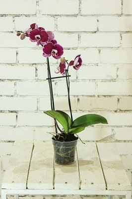 plant-orchid-falinopsis