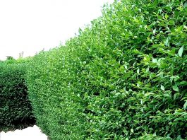 Best Types of Evergreen Hedges