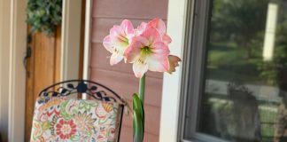 Growing and Caring of Amaryllis Bulbs
