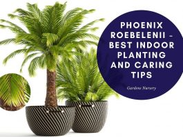 Phoenix roebelenii - Best Indoor Planting and Caring Tips
